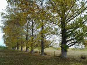 Tassie trees